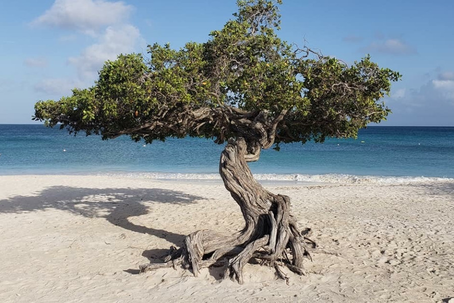 Divi Tree Aruba Beach Ocean Caribbean EverAfter Travel Agency