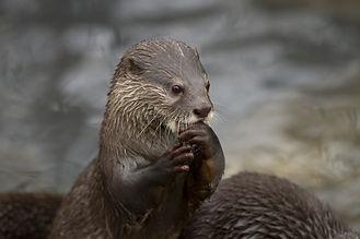 Praying Otter
