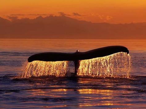 Come una balena