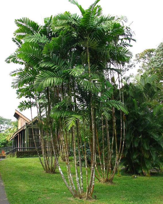 macarthur_palm