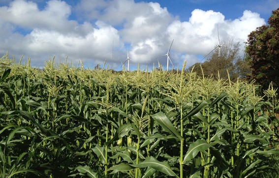 corn growing on the north shore of Oahu, Hawaii