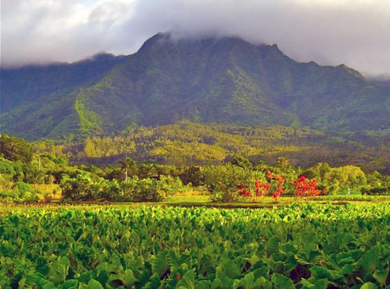 taro farm in Kauai, Hawaii