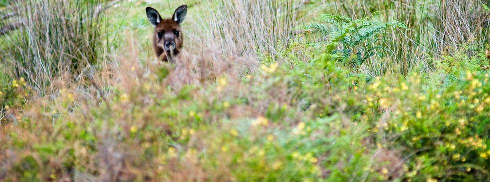 Wildlife Kangaroo Beach Lodges