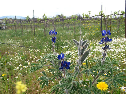 Israeli Vineyard and Flowers