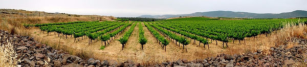 Panormic view of Israeli vineyard