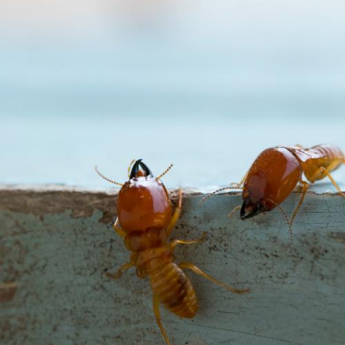Termite Consultation