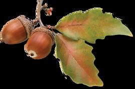 acorn-transparent-oak-leaves-14.png
