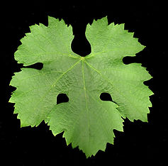 Merlot leaf.JPG