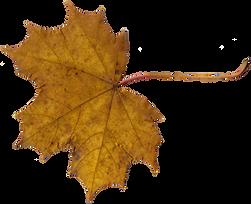 maple-leaf-3-1024x832.png