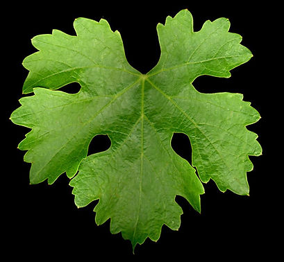 Cabernet leaf 1.JPG