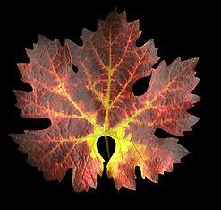 Cabernet leaf 2.JPG