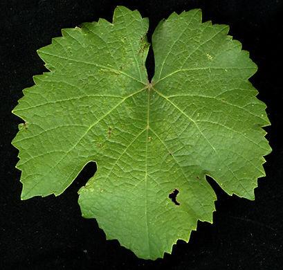 Malbec leaf.JPG