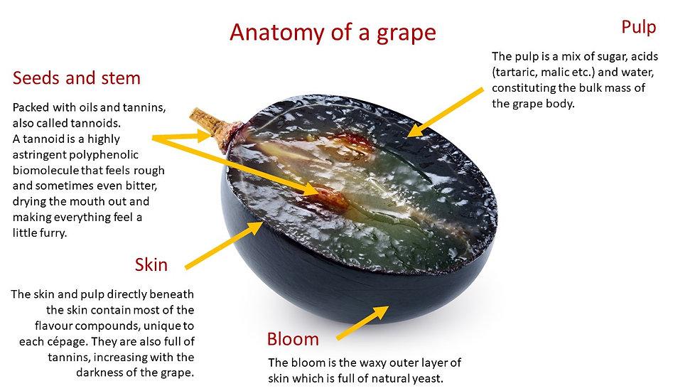 Grape anatomy no contact details.jpg