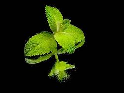 11006826-fresh-green-mint-leaves-on-a-bl
