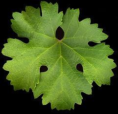 Sav Blanc leaf.JPG