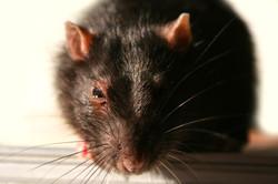 Pest Control Rodents Rats