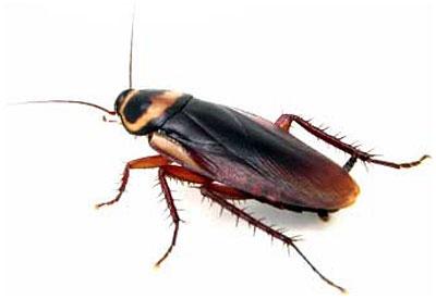 Pest Control Cockroaches
