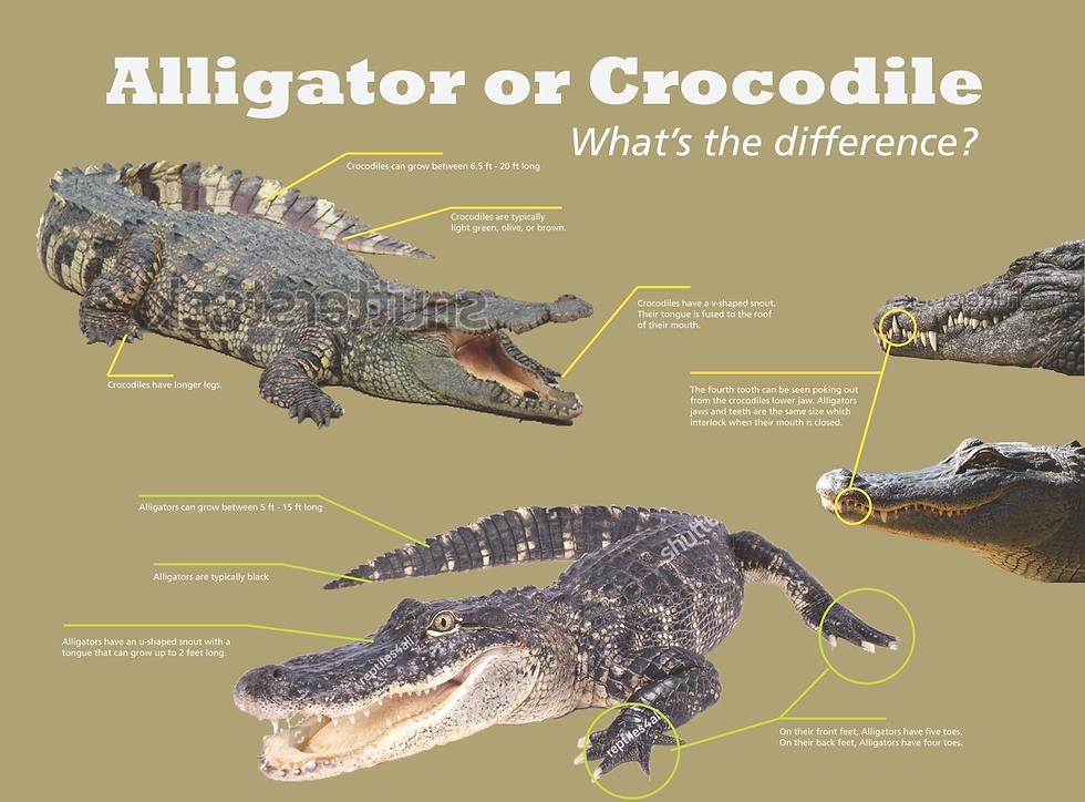 Alligator_or_Crocodile.png