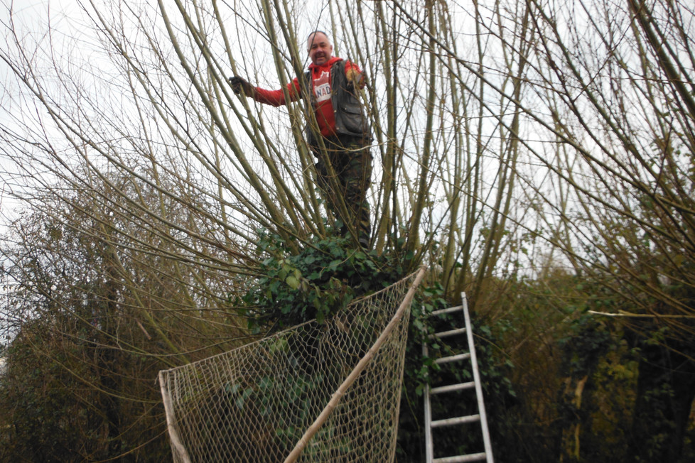"Harvesting the willow for the new ""Rimes """