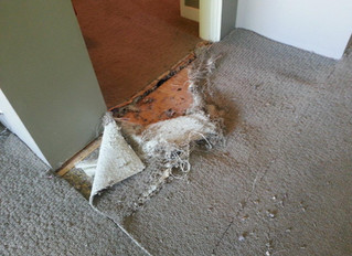 Solving Carpet Damage from our loving Pets.