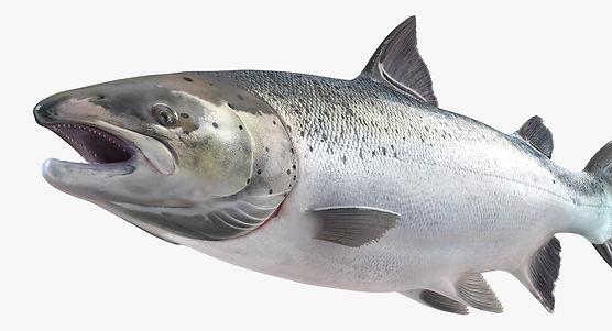 AtlanticSalmonFish3dsmodel010.jpg976E8F7