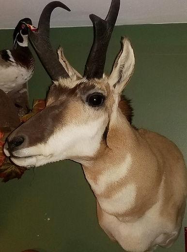 Antelope_edited.jpg