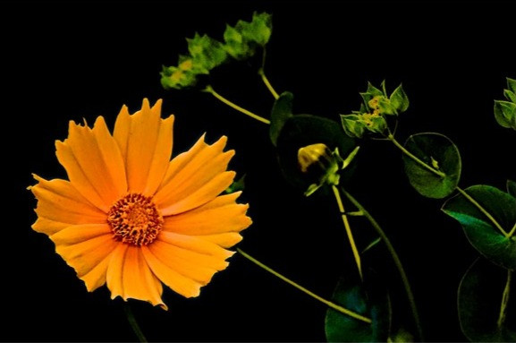 Coreopsis by Herman Brewster