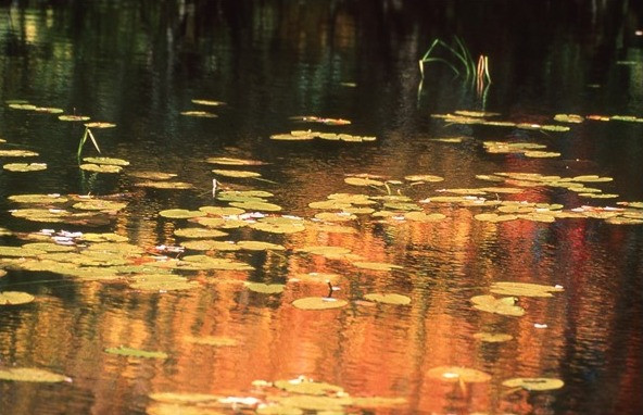 Golden Pond by Herman Brewster