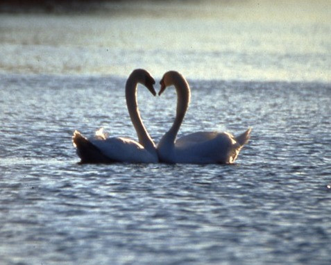 Two Swans by Herman Brewster