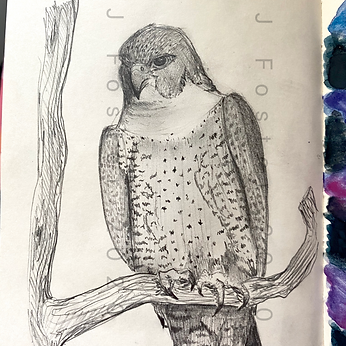 Day 9 - Peregrine Falcon (Medium).PNG