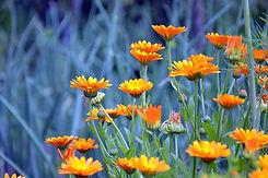 calendula-calendula-officinalis-plant-fl