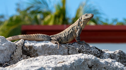 1207 Iguana.jpg
