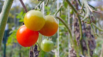 1007 MEVO Tomatoes.jpg