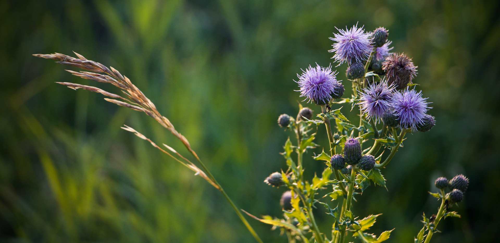 Grass and Thistle