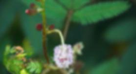 herbal medicine mimosa.jpg