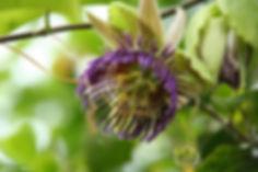 herbal medicine passionflower.jpg