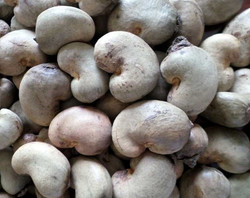 RAW CASHEW NUTS IN SHELL-RCN
