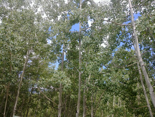 new growth aspen Trees