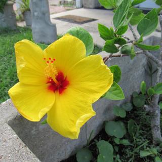 Yellow Hibiscus.jpg