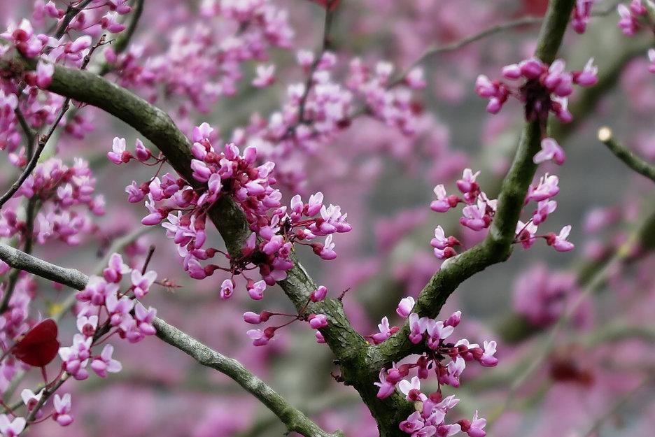 bloesem cercis canadensis.JPG