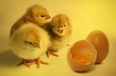chicks-2965846_960_720.jpg