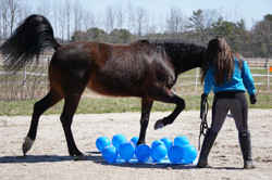 Standardbred, obstacle course.
