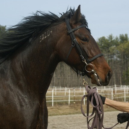 Standardbred, head photo with brand.