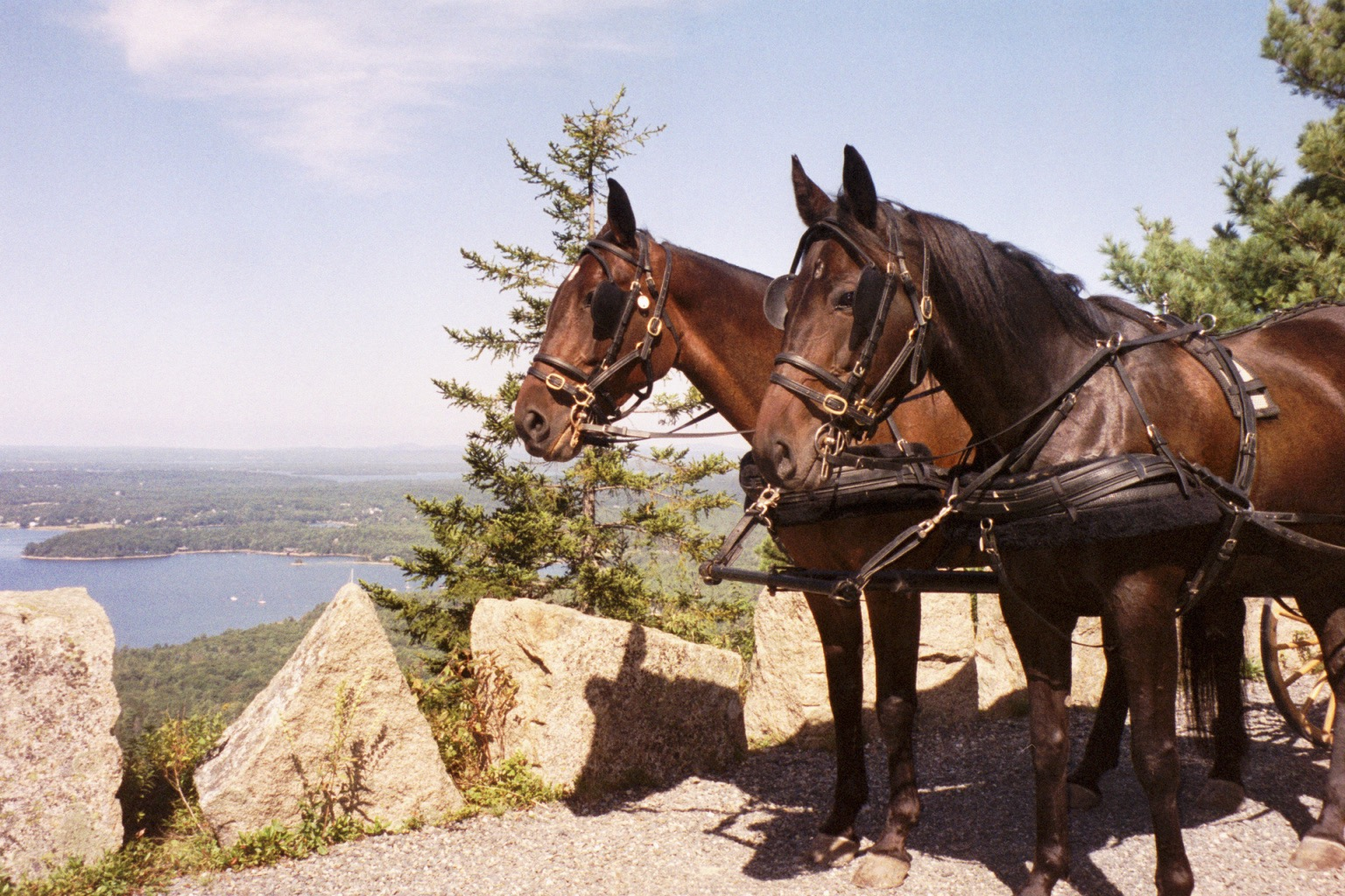 Standardbred driving pair at Acadia.