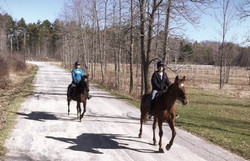 Standardbreds, trail riding.