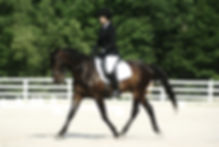 A Standardbred performing in the dressage ring.