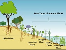 aquatic plants.png