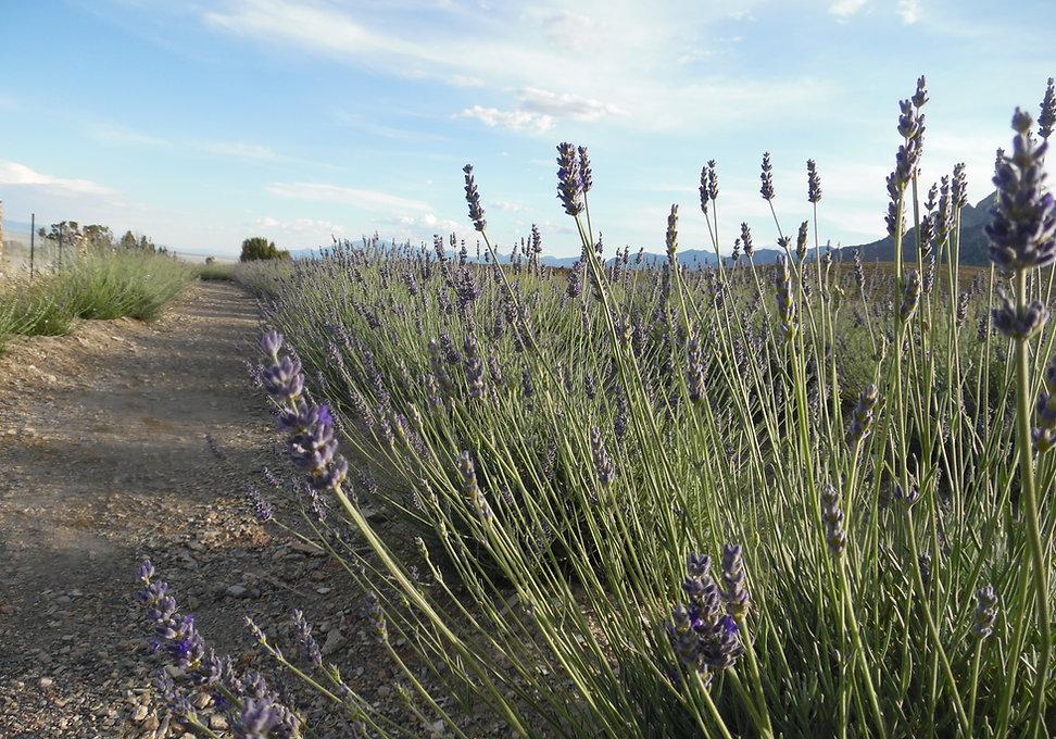 Lavender 2020 (3).JPG