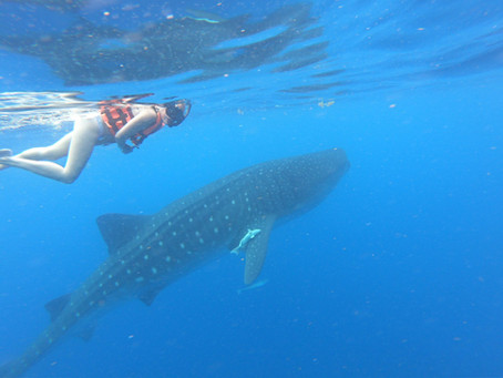 """""""Afuera"""" The aggregation of whale sharks off Isla Mujeres"""