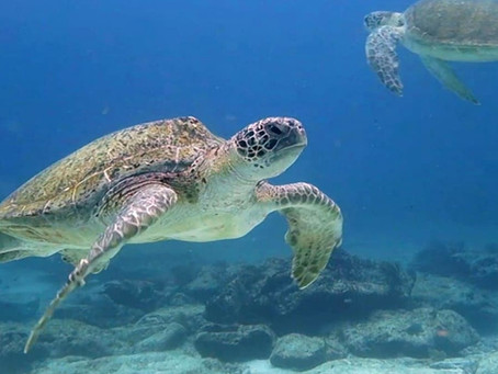 Scuba diving with loggerhead turtles in Isla Mujeres